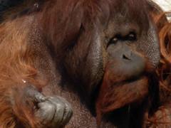 animal, orangutan, mammal, great ape, fauna, ape,