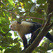 White-faced capuchin monkey above