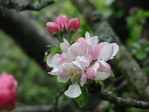 2004043004_apple blossom