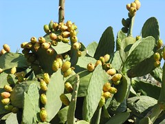 leaf, yellow, barbary fig, plant, flora, produce, fruit,