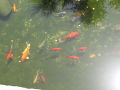fish(1.0), fish(1.0), fish pond(1.0), marine biology(1.0), koi(1.0), goldfish(1.0), pond(1.0),