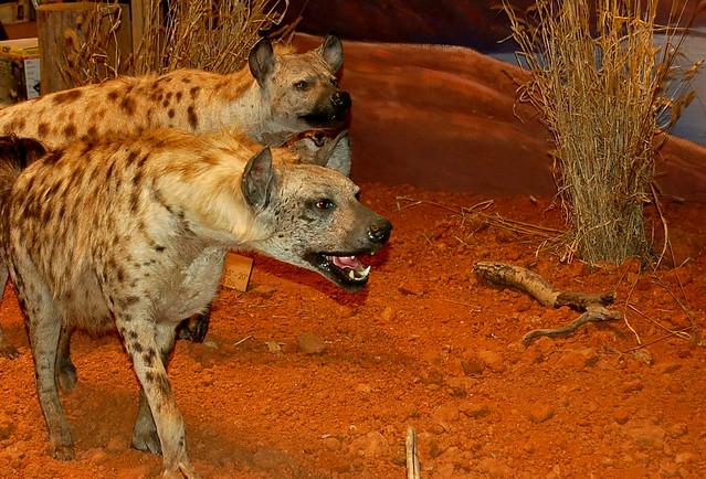 Hyena Taxidermy