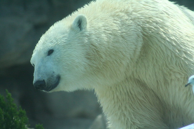 Polar bear smiling - photo#10