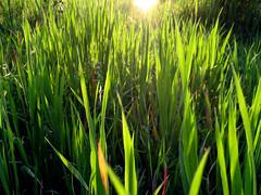 sun in tall grass - sole nell'erba alta