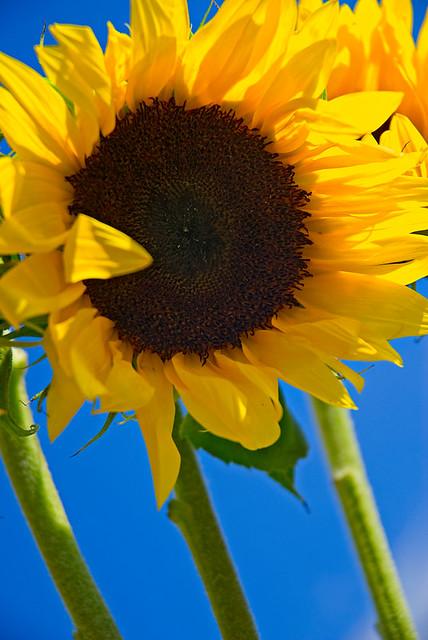 Brightlit Morning Sunflowers