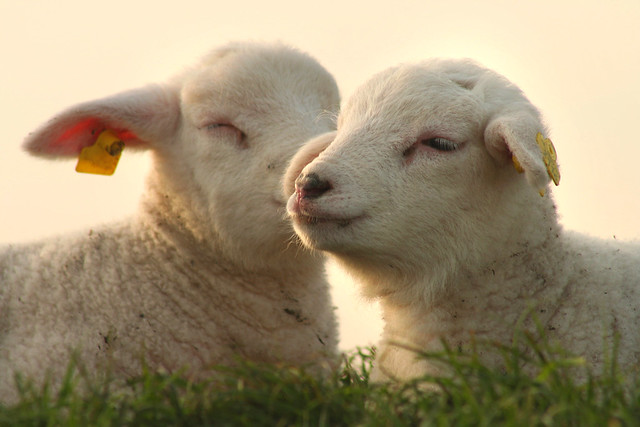 Lambs - Baby Sheep - a gallery on Flickr