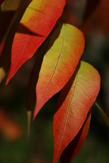 Autumn leaves - Chinese pistachio (Pistacia chinensis)