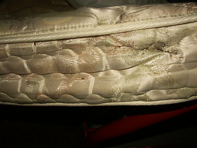 Bed Bug Eggs Hatched