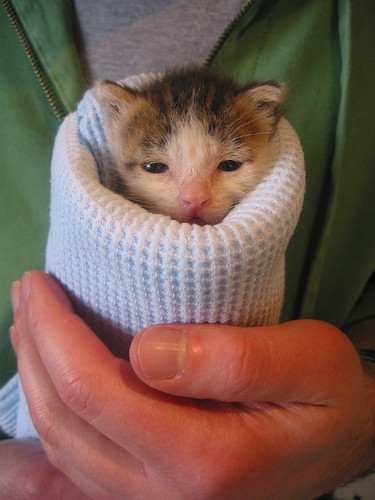 kitten burrito