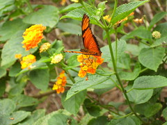 nectar(0.0), monarch butterfly(0.0), arthropod(1.0), pollinator(1.0), annual plant(1.0), animal(1.0), moths and butterflies(1.0), butterfly(1.0), flower(1.0), leaf(1.0), yellow(1.0), invertebrate(1.0), wildflower(1.0), flora(1.0), fauna(1.0), lantana camara(1.0),
