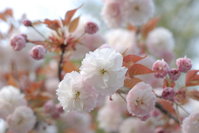 Photo:happy cherry blossoms with buds 50mmf2h By **jpg