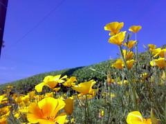 eschscholzia californica, flower, field, yellow, plant, wildflower, flora, meadow, poppy,