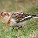 Snow Bunting - Photo (c) Paul Roberts, some rights reserved (CC BY-NC)