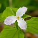 Small photo of Trillium
