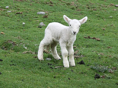 animal, grass, sheeps, sheep, mammal, fauna, mountain goat, meadow, pasture, grassland,