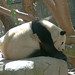 Small photo of Giant Panda (Ailuropoda melanoleuca)