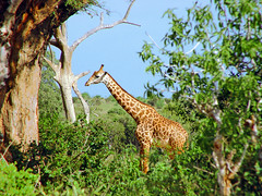 Giraffe in the Tsavo East