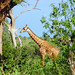 Giraffe in the Tsavo East
