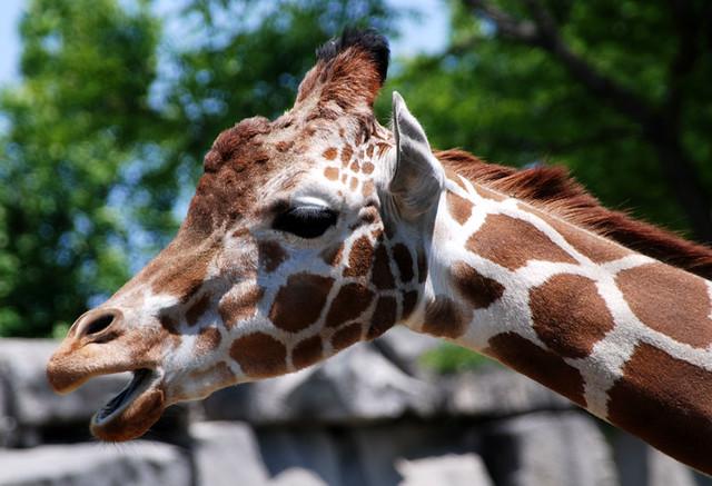 yawning giraffe - photo #5