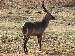 white-tailed deer(0.0), animal(1.0), prairie(1.0), antelope(1.0), mammal(1.0), horn(1.0), waterbuck(1.0), fauna(1.0), wildlife(1.0),