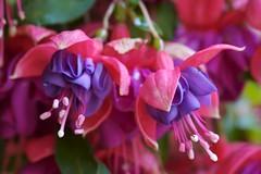 blossom(0.0), shrub(0.0), flower(1.0), purple(1.0), plant(1.0), macro photography(1.0), flora(1.0), close-up(1.0), fuchsia(1.0), pink(1.0), petal(1.0),