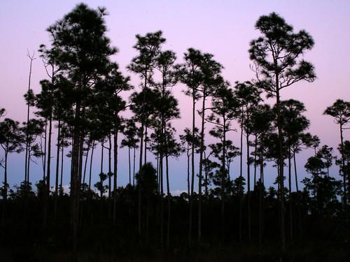 trees sunset purple florida evergladesnationalpark sillhouette instantfave orjustpastsunset