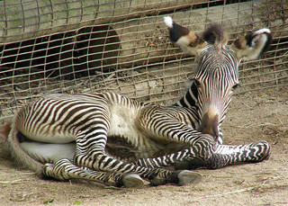 "Five day old Grevy's Zebra colt ""Johari"".  (""Jewel"" in Swahili)"