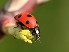 arthropod, animal, ladybird, invertebrate, insect, macro photography, green, fauna, close-up, beetle,