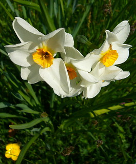 narcissi and a nasty creature