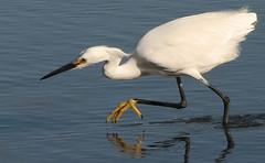 animal, wing, fauna, great egret, heron, shorebird, beak, bird, wildlife,