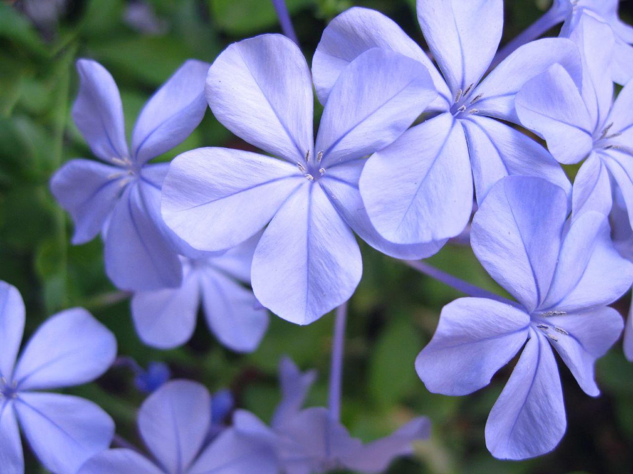 Blue jasmine a photo on flickriver blue jasmine izmirmasajfo