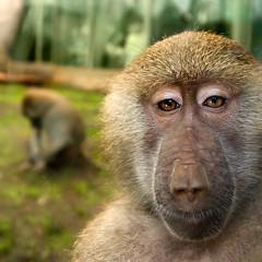 tufted capuchin(0.0), drill(0.0), animal(1.0), baboon(1.0), monkey(1.0), mammal(1.0), fauna(1.0), old world monkey(1.0), macaque(1.0), wildlife(1.0),