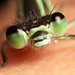 Damselfly closeup by Lord V