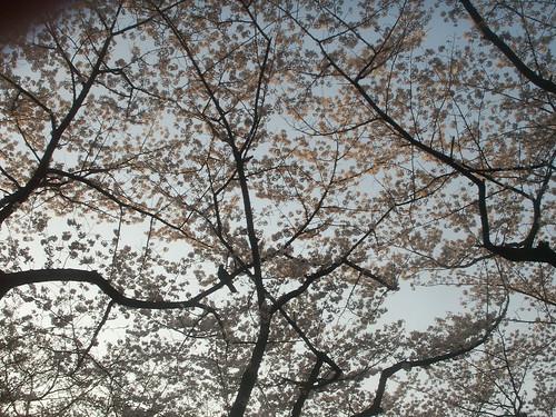 "Cherry blossom ""Sakura"""