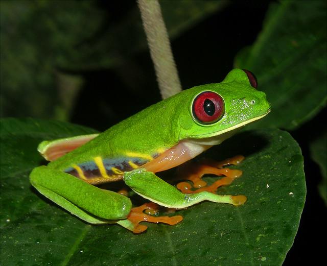 Red-eyed tree frog (Agalychnis callidryas), Panama ...