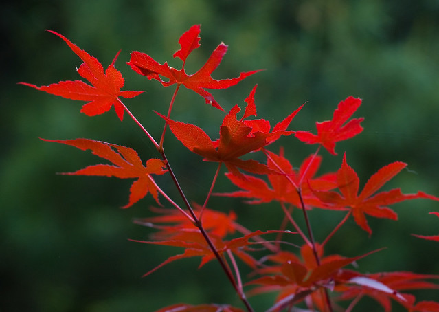 Small Japanese Maple