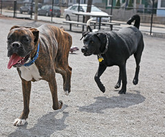 dog breed, animal, dog, pet, olde english bulldogge, mammal, cane corso, guard dog,
