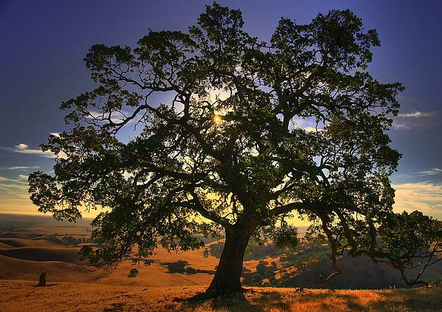 Black Oak Tree ~ I love oaks a gallery on flickr