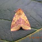 PINK-BARRED SALLOW Xanthia togata