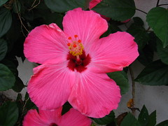 annual plant, shrub, flower, plant, malvales, flora, chinese hibiscus, petal,