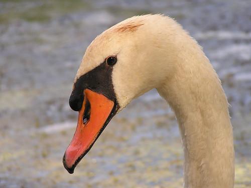 birds swan buckeye1 jsdart
