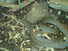 boas(0.0), boa constrictor(0.0), hognose snake(0.0), grass snake(0.0), garter snake(0.0), sidewinder(0.0), anguidae(0.0), animal(1.0), serpent(1.0), snake(1.0), reptile(1.0), marine biology(1.0), fauna(1.0), scaled reptile(1.0), wildlife(1.0),