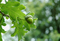From Little Acorns Do Mighty Oak Trees Grow