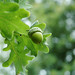 From Little Acorns Do Mighty Oak Trees Grow by HatHome