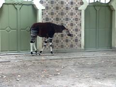 zebra(0.0), giraffe(0.0), giraffidae(0.0), okapi(1.0), mammal(1.0),