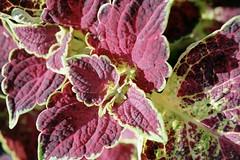 annual plant, leaf, purple, plant, herb, flora, perilla frutescens,