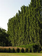 Tree Hedge 20050704 09