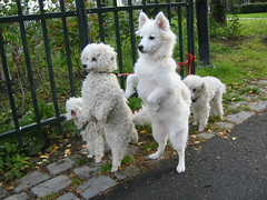 dog breed, animal, dog, japanese spitz, pet, german spitz, white shepherd, mammal, berger blanc suisse, samoyed,