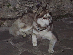 dog breed(1.0), animal(1.0), west siberian laika(1.0), dog(1.0), czechoslovakian wolfdog(1.0), miniature siberian husky(1.0), alaskan klee kai(1.0), gray wolf(1.0), siberian husky(1.0), pet(1.0), shikoku(1.0), east siberian laika(1.0), norwegian elkhound(1.0), tamaskan dog(1.0), greenland dog(1.0), northern inuit dog(1.0), wolfdog(1.0), saarloos wolfdog(1.0), native american indian dog(1.0), jã¤mthund(1.0), alaskan malamute(1.0), sled dog(1.0), carnivoran(1.0),
