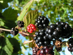 blackberry, berry, branch, macro photography, flora, chokeberry, fruit, dewberry,